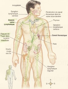 la lymphe dans le corps